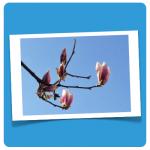 magnolie Foto DoSchu